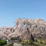 長福寺 栃木市都賀町【しだれ桜】の超穴場スポット!