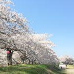 金崎の桜 栃木市西方町【桜並木】穴場スポット!