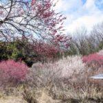 鹿沼市 錦鯉公園で梅と謎の木を見てきました